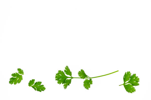 coriander leaves and stalks arranged on white background with copy space closeup of coriander leaves and stalks arranged on white background with copy space cilantro stock pictures, royalty-free photos & images
