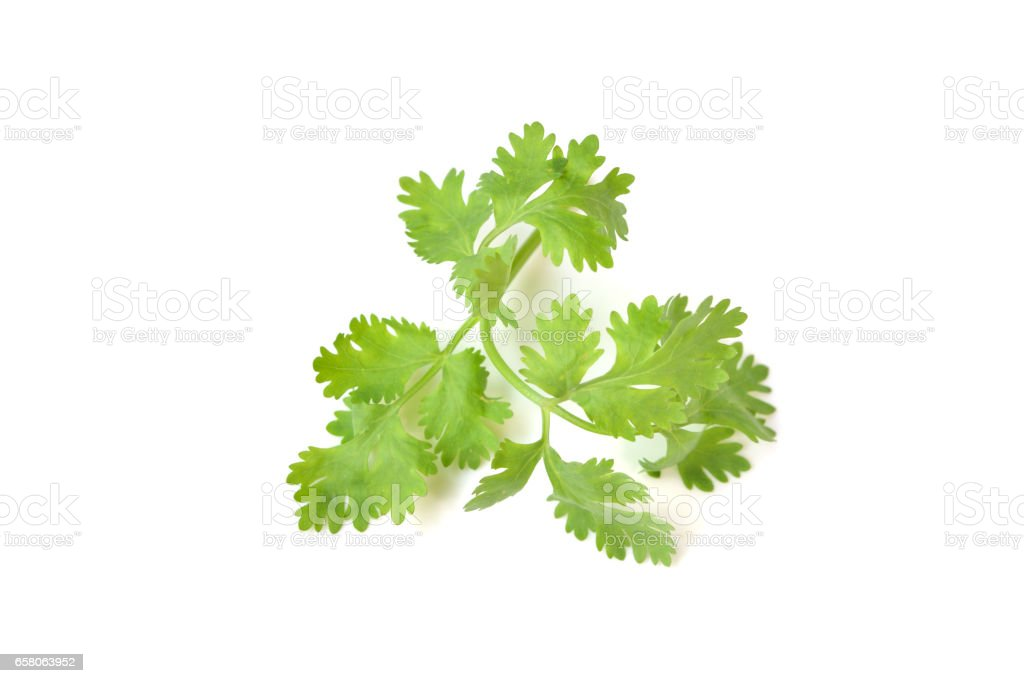 Coriander leaves on white background - isolated stock photo