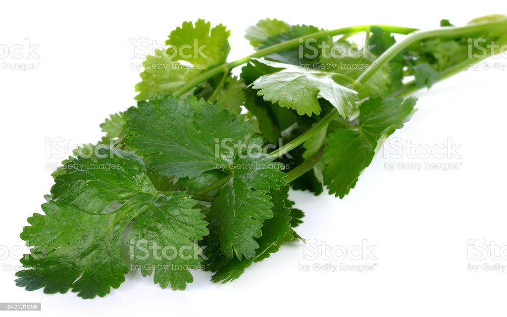 Coriander leaves on white background. stock photo