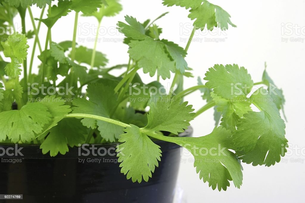 Coriander Leaves royalty-free stock photo