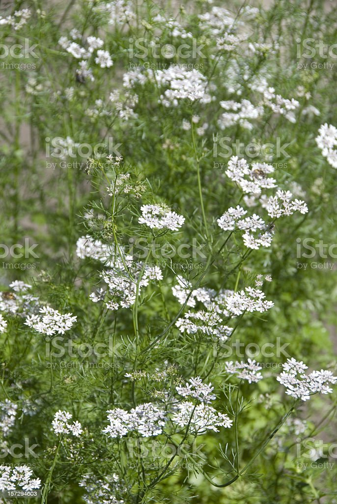 Coriander (Coriandrum sativum) royalty-free stock photo