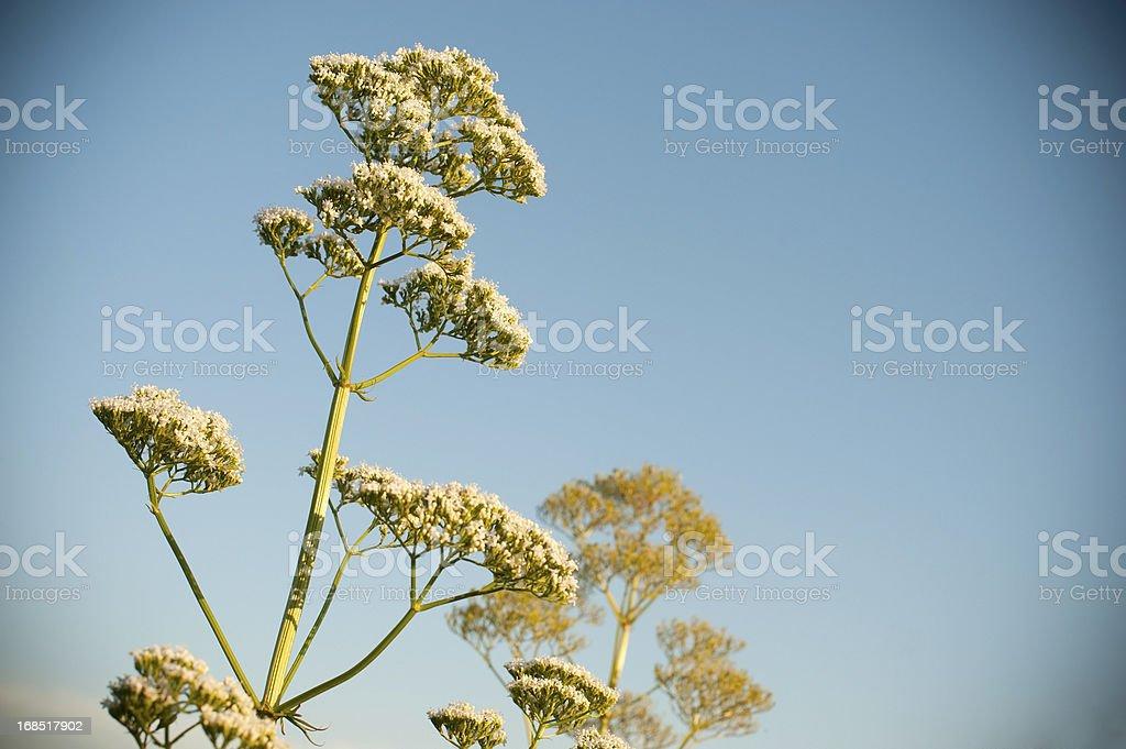 Coriander (Coriandrum sativum) royalty-free stock photo