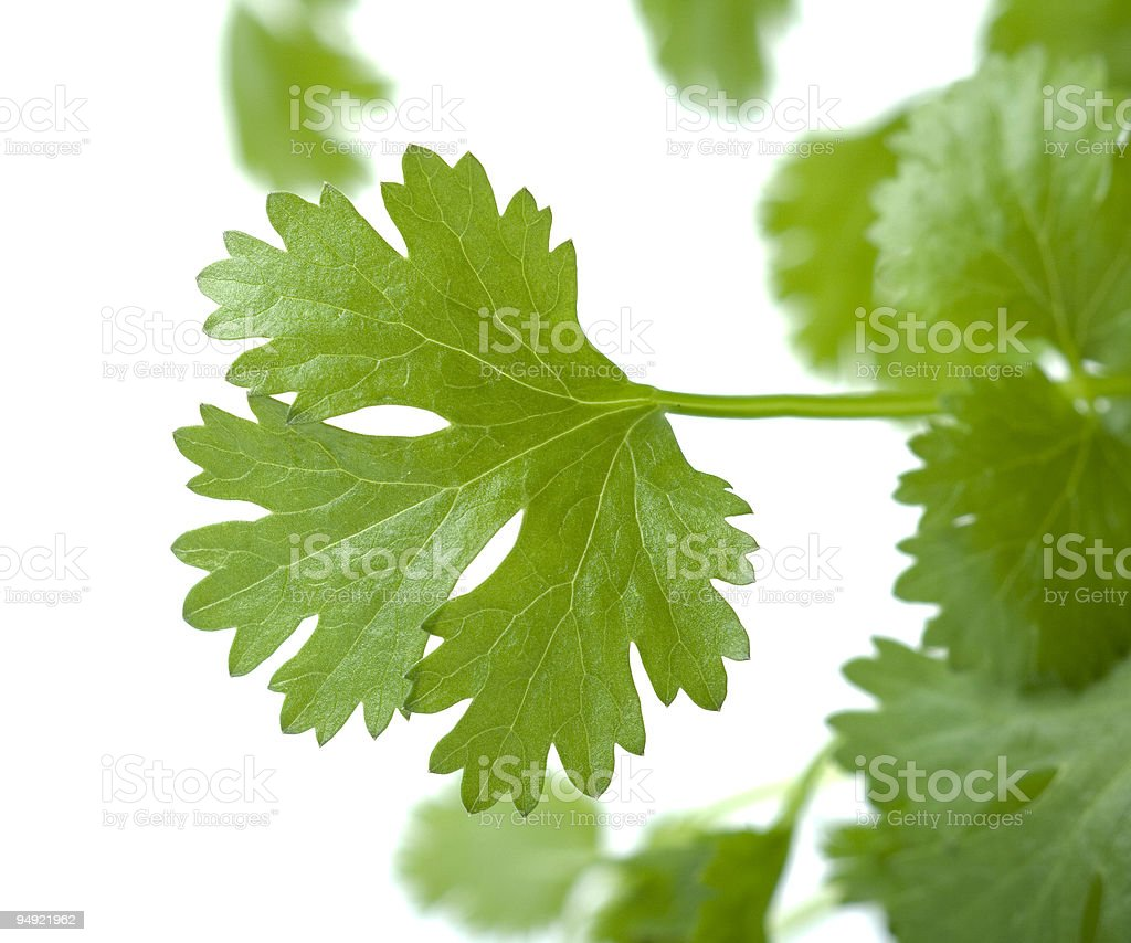 coriander royalty-free stock photo