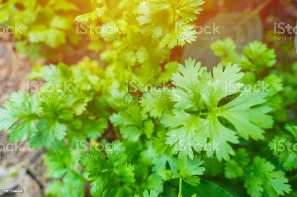Coriander plant Fresh herb garden at home close up green leaves. stock photo