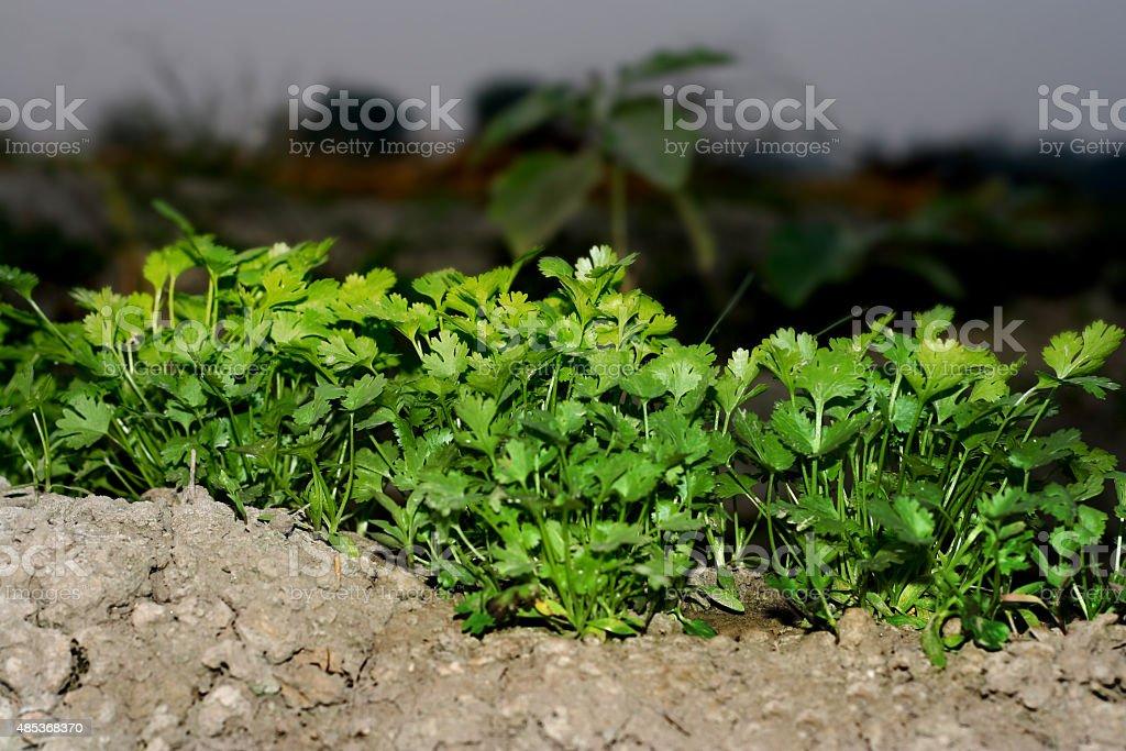 koriander pflanzen