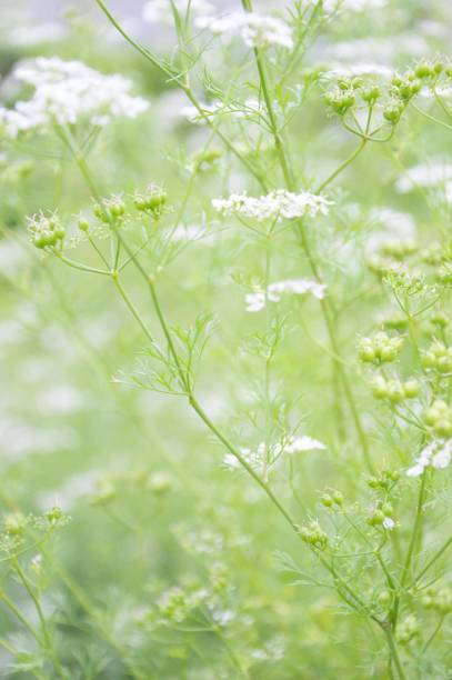 Coriander plants blooming Cilantro in bloom in an organic kitchen garden werken stock pictures, royalty-free photos & images