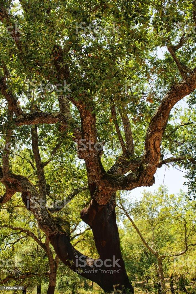 Las dębowy w górach Arrabida - Zbiór zdjęć royalty-free (Anioł)