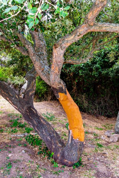 Cork oak (Sassari, Sardinia, Italy). - foto stock