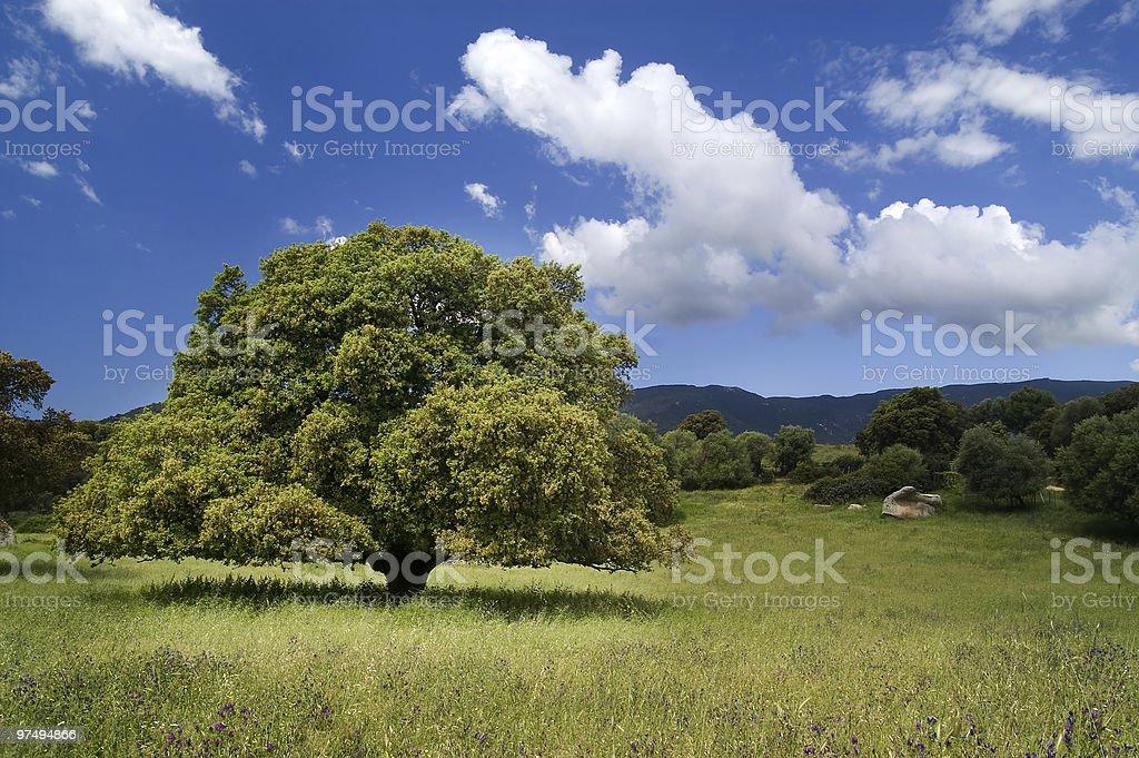 Cork oak royalty-free stock photo
