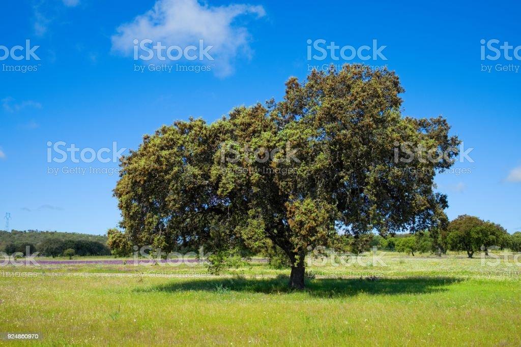 Árbol de alcornoque (Quercus suber) en la mañana sol, Extremadura, España, Europa - foto de stock