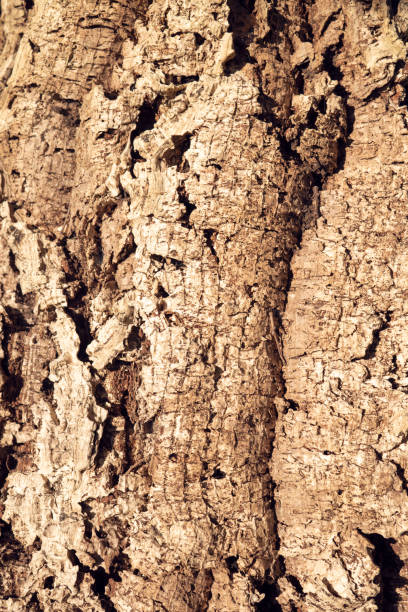Cork Oak Tree texture background stock photo