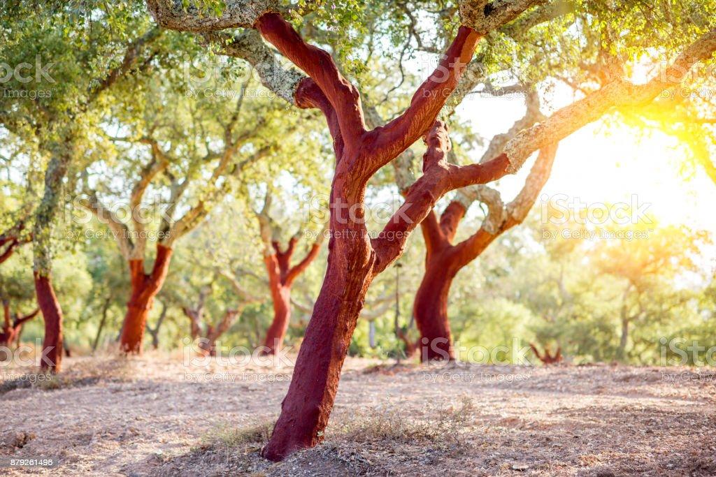 Cork Eichen in Portugal – Foto