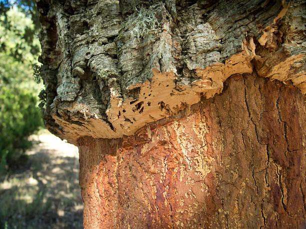 Cork Tree und Korken Harvest – Foto