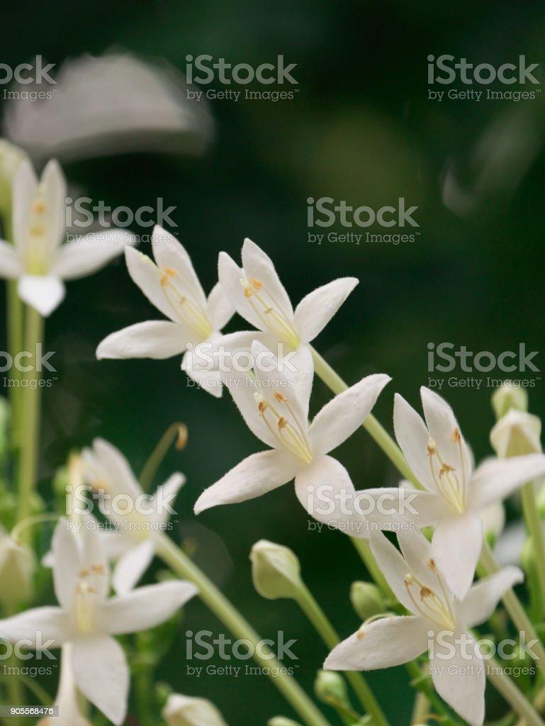 Cork Tree Flowers Blooming stock photo