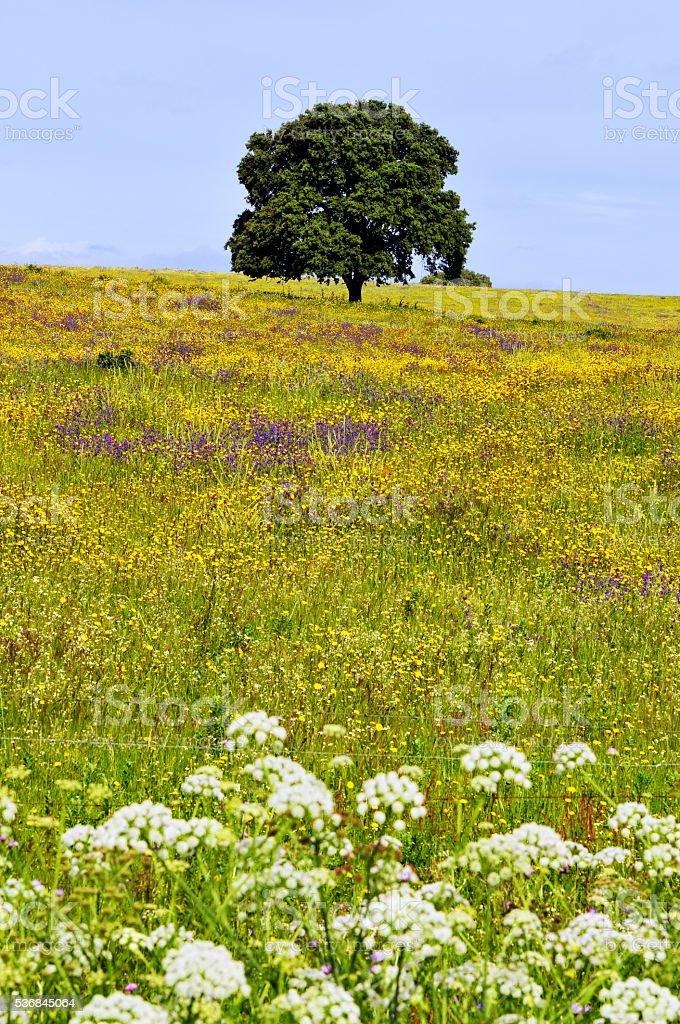 Foto De Cork Arvore Em Prado De Flores Silvestres Alentejo Portugal