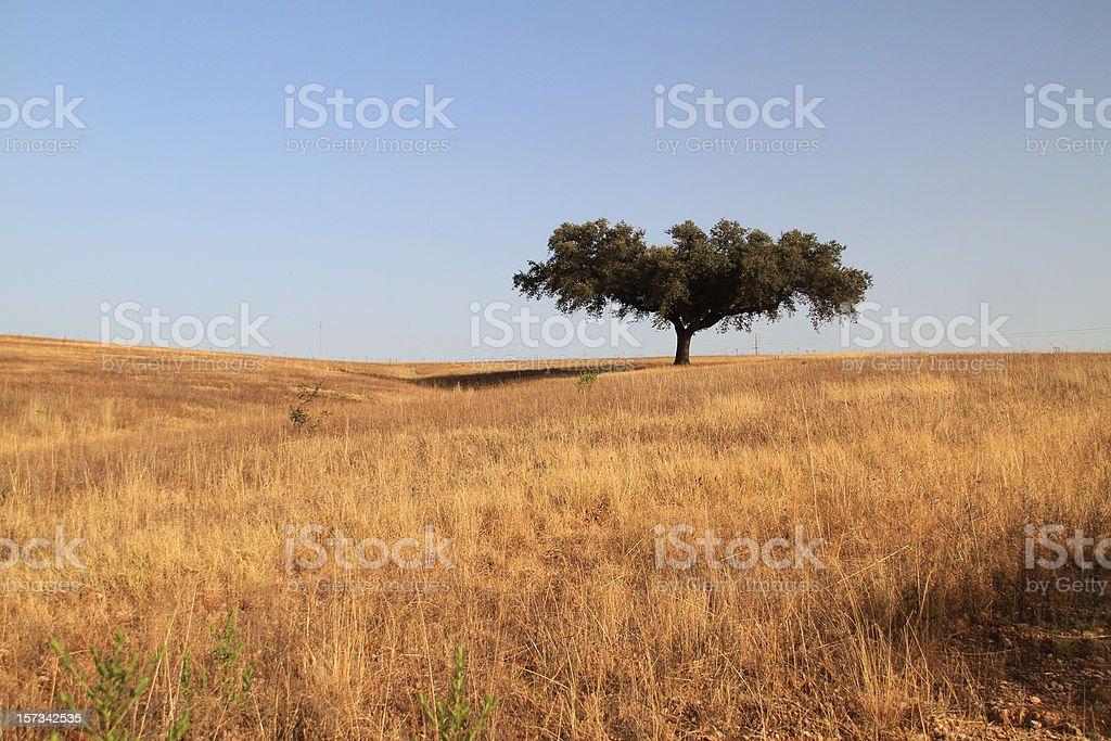 Cork tree stock photo