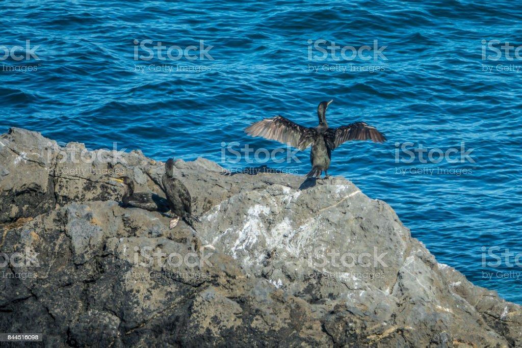 Cormoran birds drying on the coast in Mundaka stock photo
