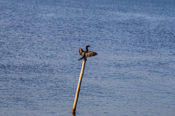 Cormorant bird in the Hula Nature Reserve stock photo