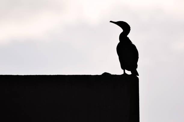 Cormorant bird silhouette picture id916825878?b=1&k=6&m=916825878&s=612x612&w=0&h=nt6v mniw49jwdnlj5y40hpgmsra00w6pp66vs75vfe=