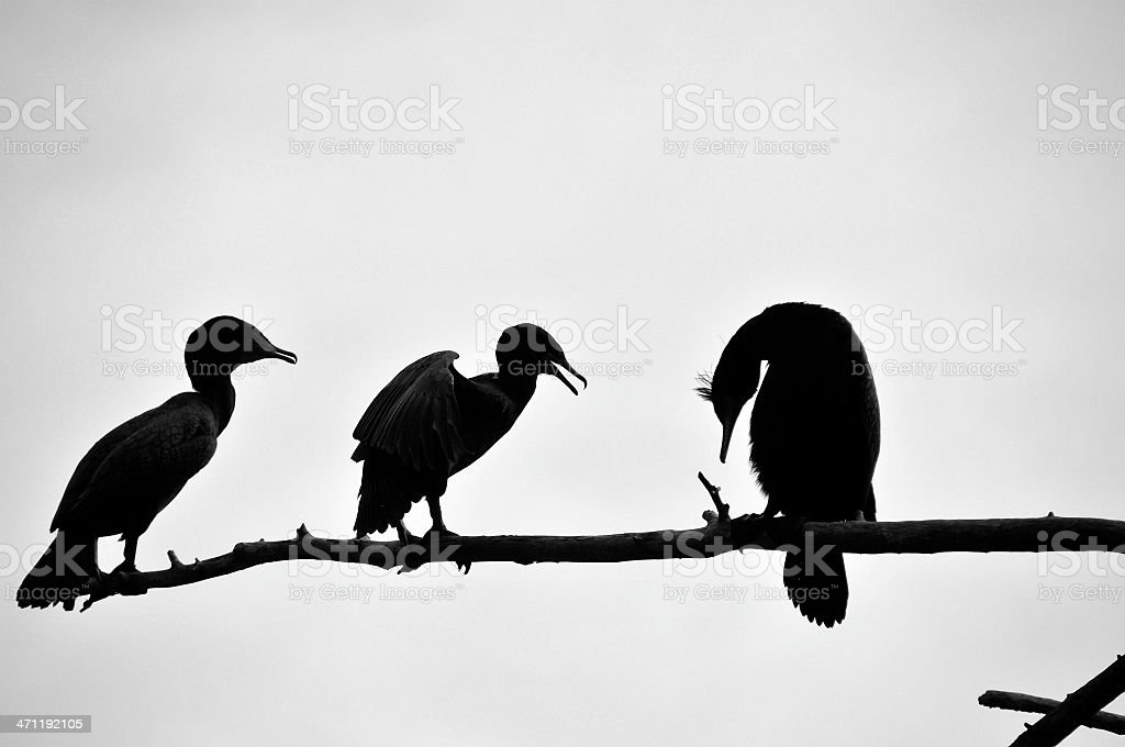 Cormorant Family in Black and White stock photo