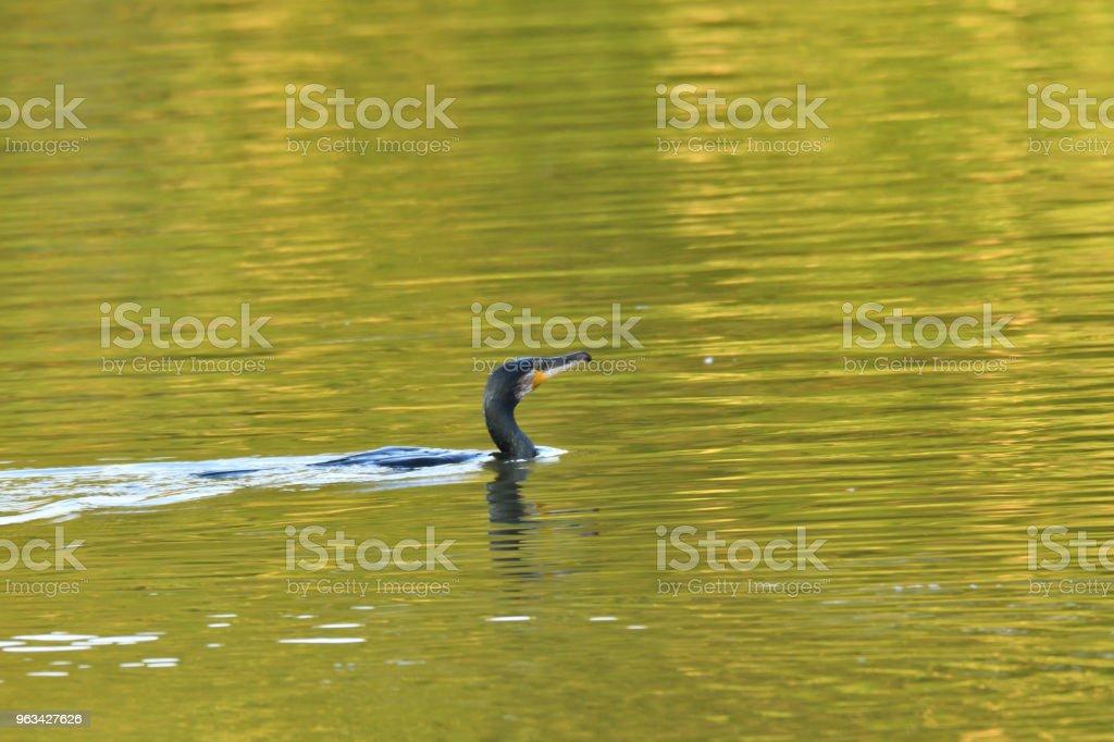 Cormoran flaping avec des ailes sur le lac de l'eau - Photo de Aile d'animal libre de droits