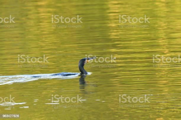Kormoran Łuskanie Skrzydłami Na Jeziorze Wodnym - zdjęcia stockowe i więcej obrazów Chmura
