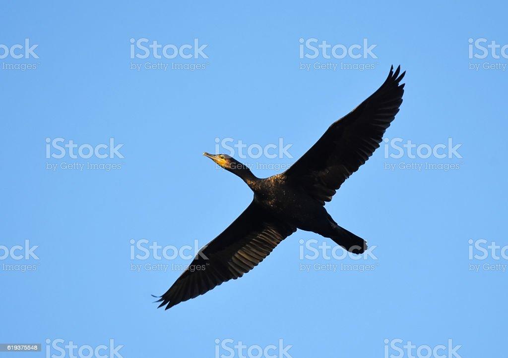 Cormorant flying above stock photo