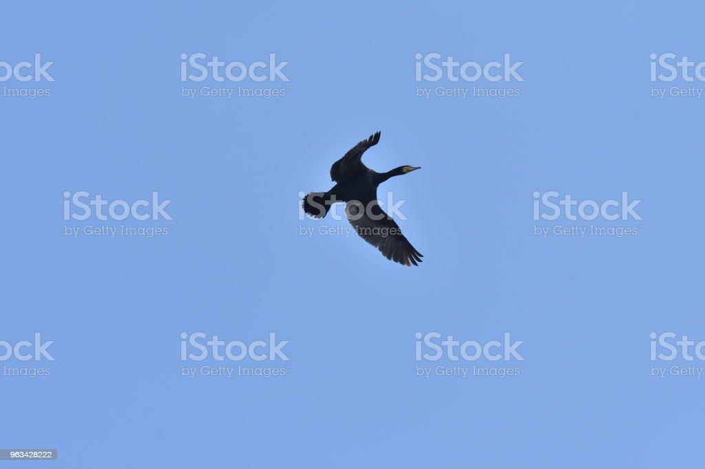 Storskarven flyger i den blå himlen över träd - Royaltyfri Bildbakgrund Bildbanksbilder