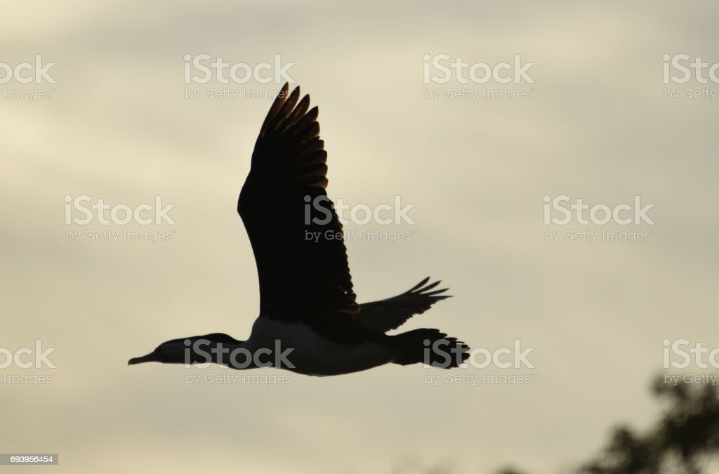 Cormorant flying stock photo