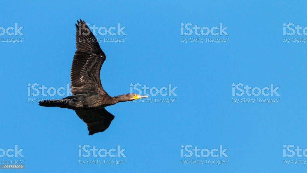 cormorant in flight stock photo