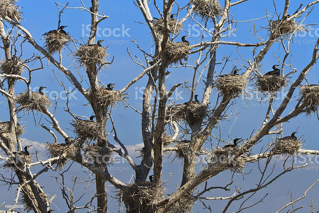 cormorant nests in a tree royalty-free stock photo