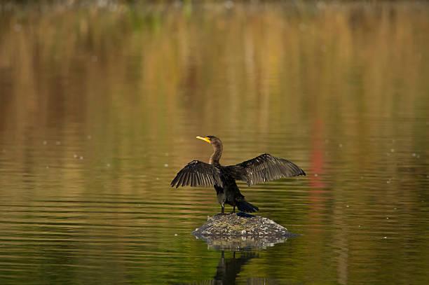 Cormorant on Rock stock photo