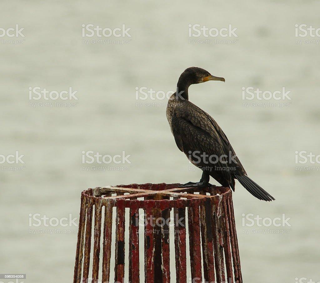 Cormorant royalty-free stock photo