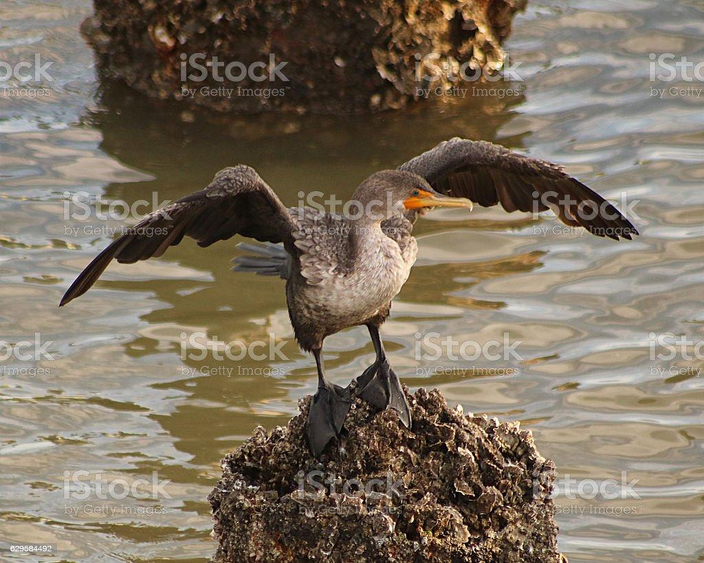 Cormoran  photo libre de droits
