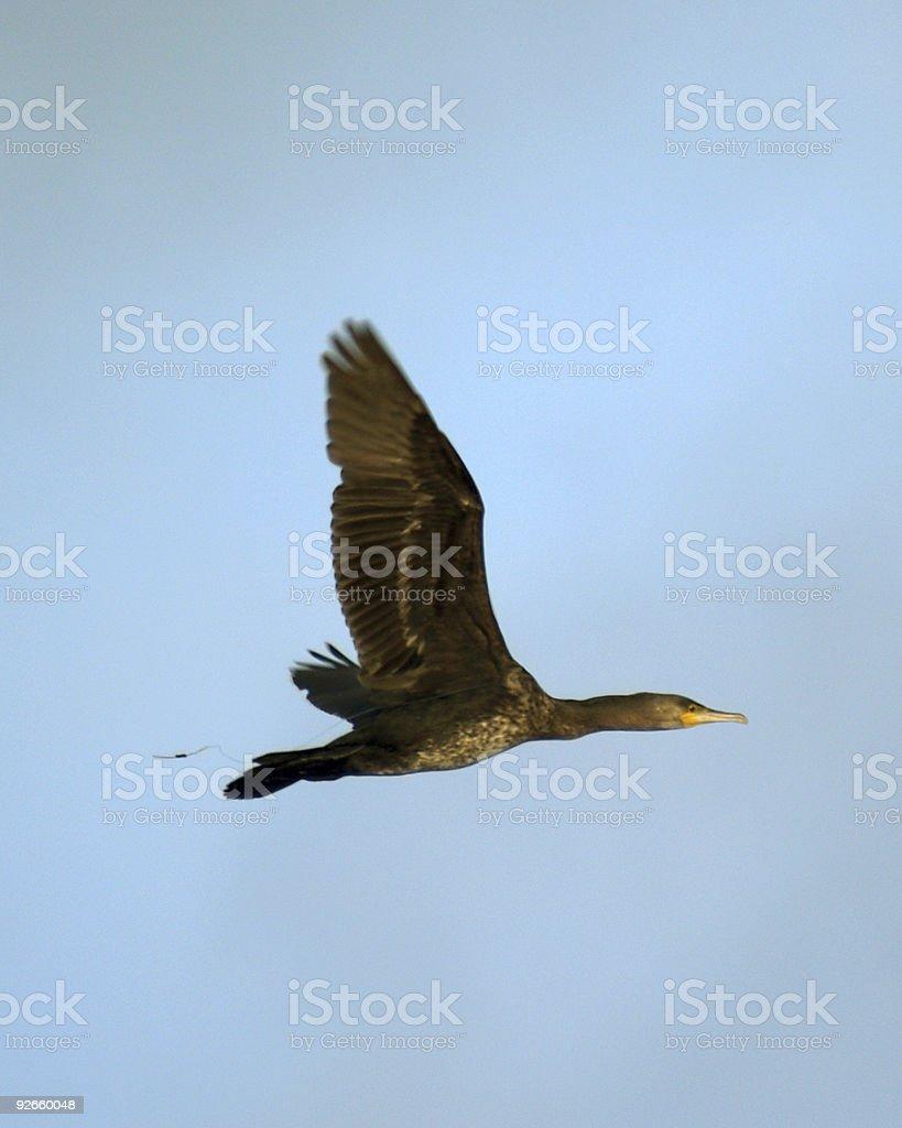 Cormorant  (Phalacrocorax carbo) royalty-free stock photo