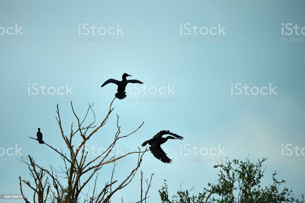 cormorant silhouettes flying stock photo