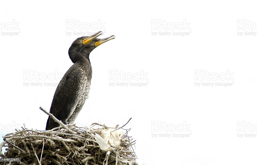 cormorant sitting at a tree branch isolated on white royalty-free stock photo