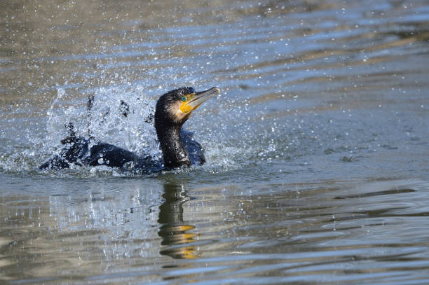 Cormorant while bathing stock photo