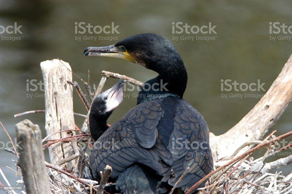 Cormorant with chick  (Phalacrocorax carbo) stock photo