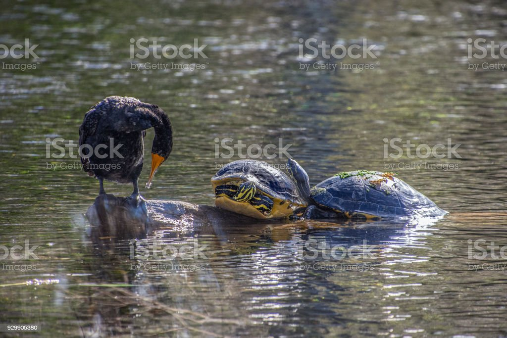 Cormorant with turtles stock photo