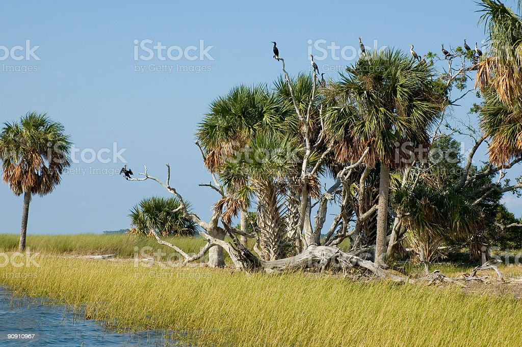 Cormorants at Rookery stock photo