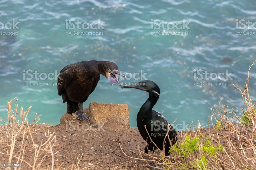 Cormorants bird on the bluff stock photo