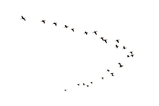 Flying Cormorants, Phalacrocorax carbo, isolated on white