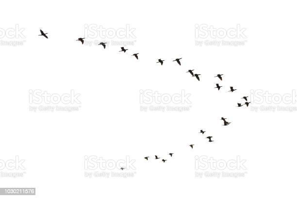 Cormorants flying picture id1030211576?b=1&k=6&m=1030211576&s=612x612&h=i5vnveapns9p1ndnpdnmmw9awqwgecd7x1gfe5gmd7s=