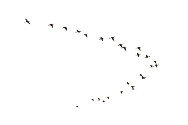 Cormorants flying Flying Cormorants, Phalacrocorax carbo, isolated on white flock of birds stock pictures, royalty-free photos & images