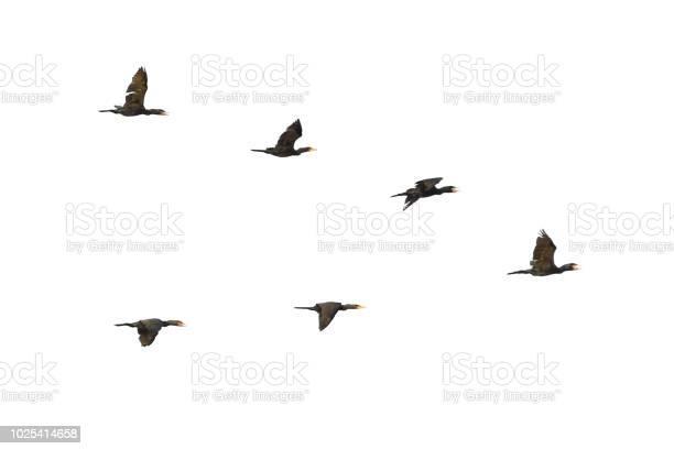 Cormorants in flight picture id1025414658?b=1&k=6&m=1025414658&s=612x612&h=zbdvedscnl0 cv 3obolfaqu j7hjesilyotapxd40m=
