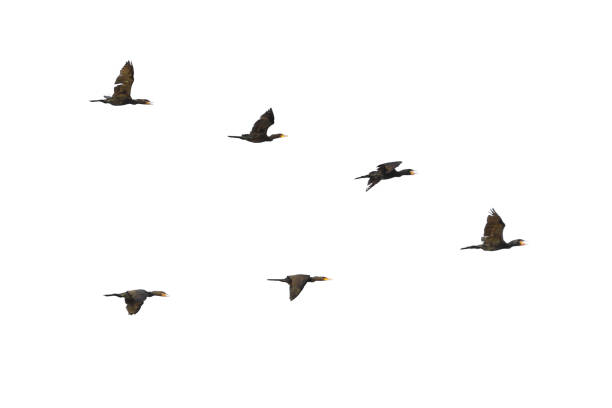 Cormorants in flight Flock of Cormorants in flight, Phalacrocorax carbo lake waterfowl stock pictures, royalty-free photos & images