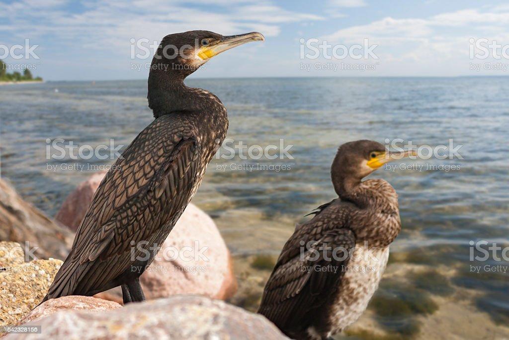 Cormorants on the rocky shore – Foto