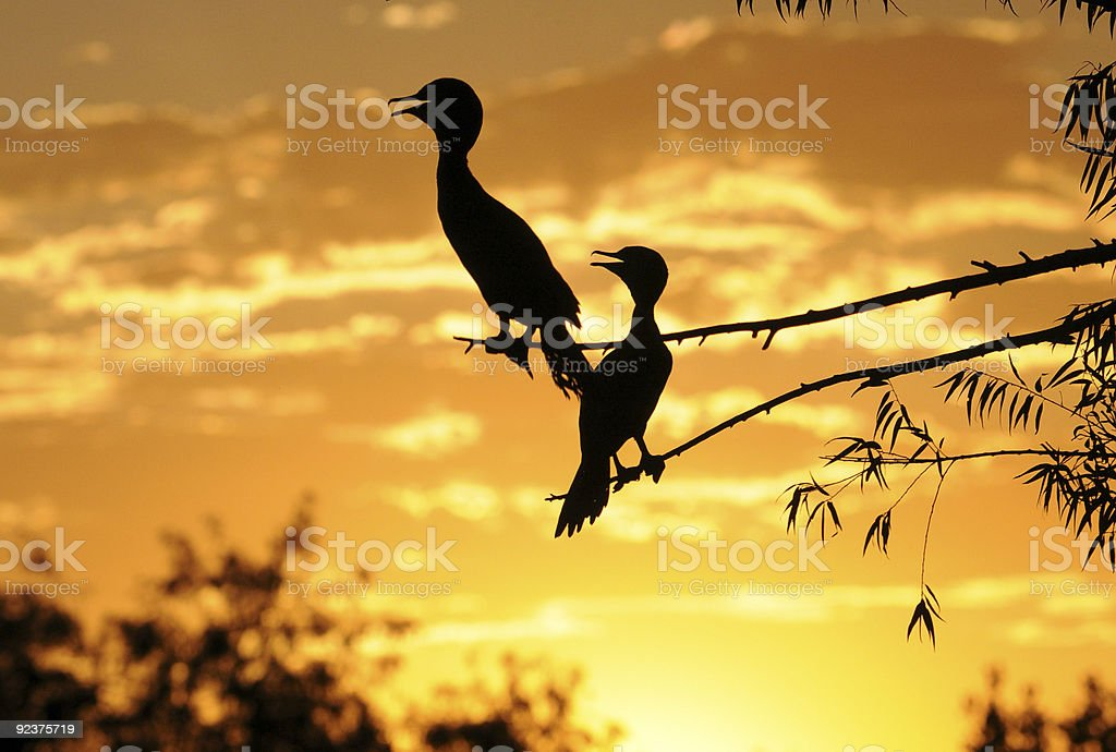 Cormorants Silhouette against sunset sky royalty-free stock photo