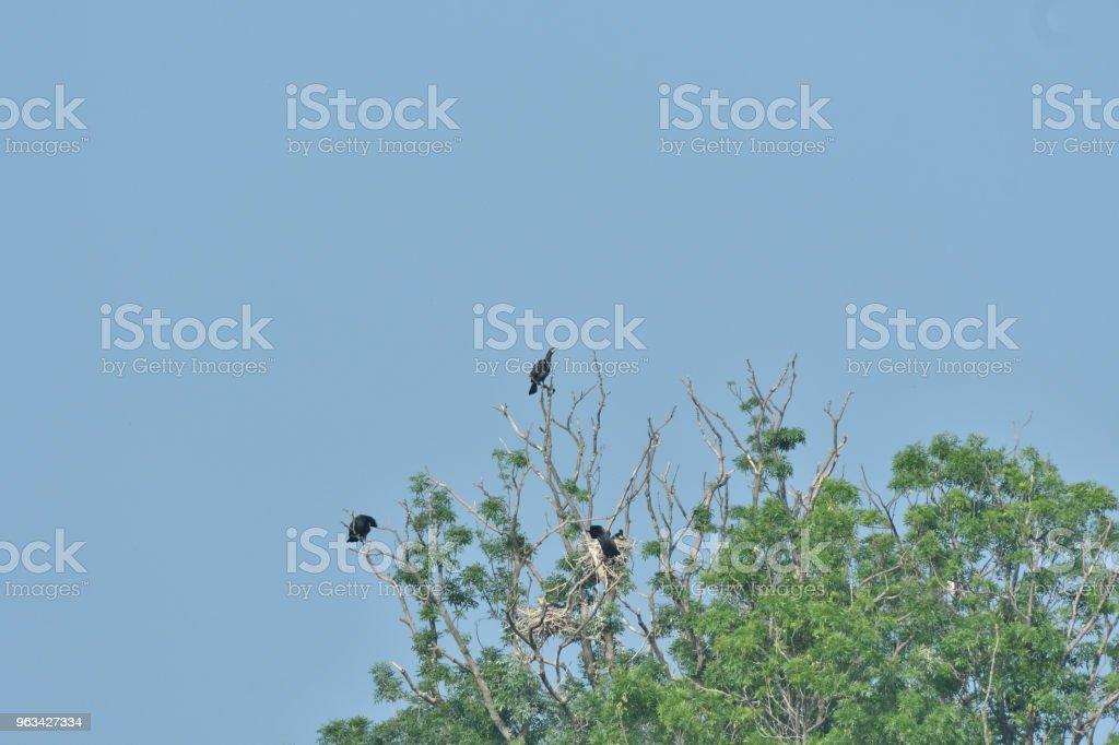 cormorans assis haut sur le rameau d'arbre - Photo de Aile d'animal libre de droits